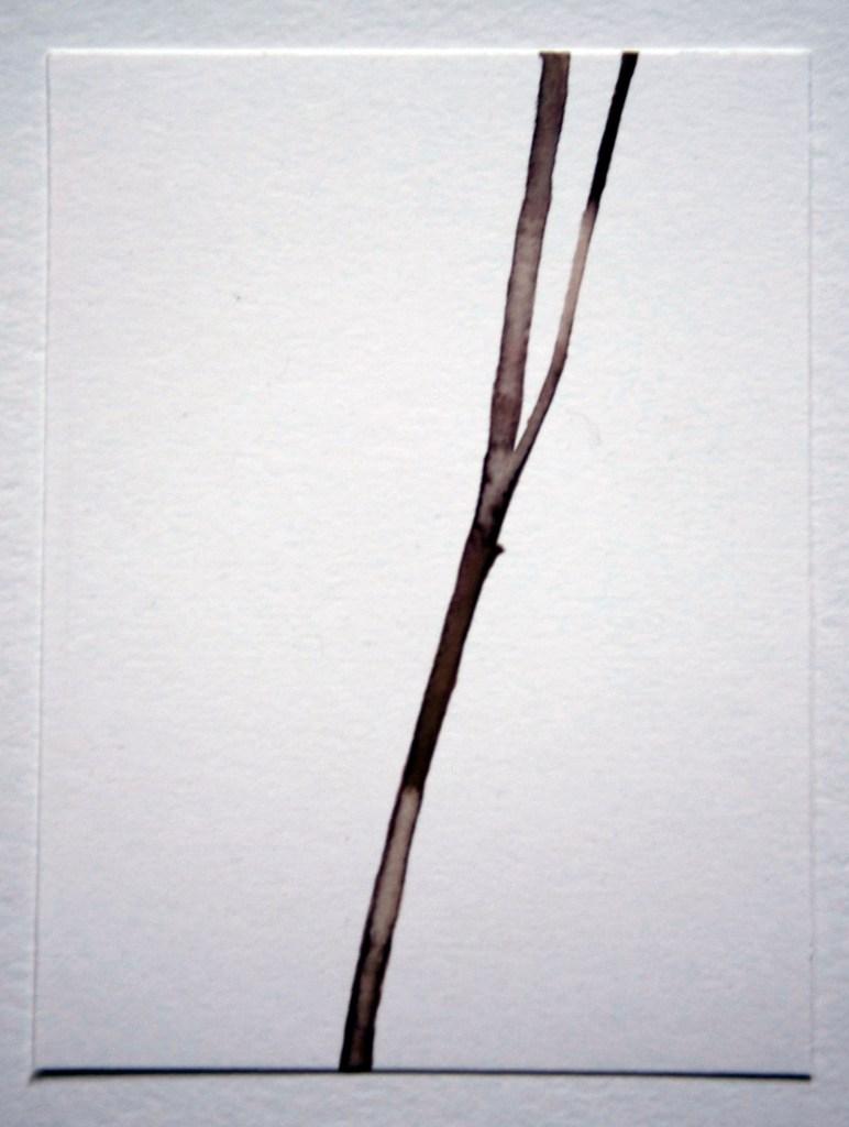 Rudbeckia stalk