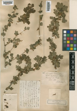 Gooseberry. Ribes grossularia L. (synonym: Ribes uva-crispa L.) The featured image above was collected by Edoardo Rostan, in Prali, Italy (Piedmont province) in June 1863. Herbarium image © The Trustees of the Royal Botanic Gardens, Kew.