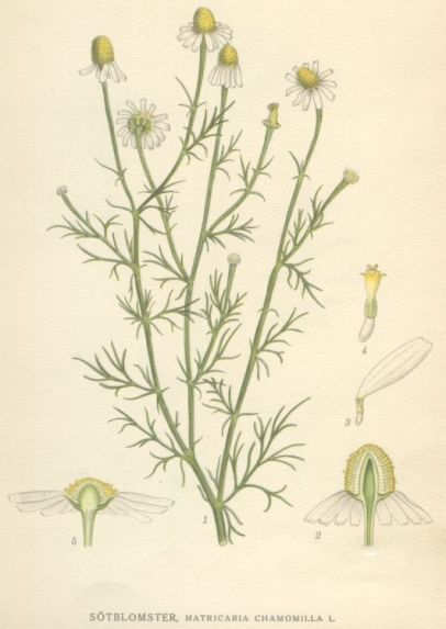 German chamomile (Matricaria chamomilla).  Reproduction of a painting by the Swedish botanist C.A.M. Lindman (1856-1928). Image from Bilder ur Nordens Flora (1901-1905). Chamomile has a wide native and introduced distribution. (See Kew Plants of the World Online for more.)