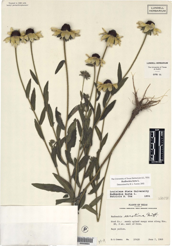 Black-eyed Susan (Rudbeckia hirta L.)  Image courtesy of   Plant Resources Center of the University of Texas at Austin.