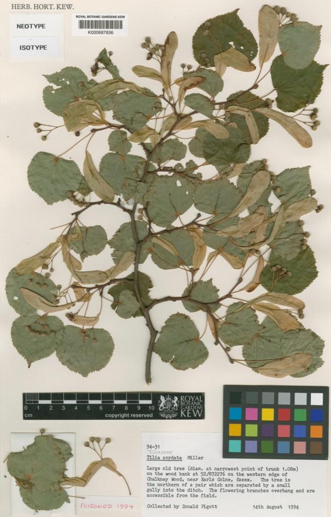 Herbarium Specimen Tilia cordata. RBG Kew.