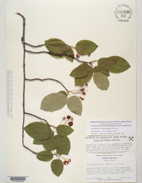"Amelanchier arborea (Michaux f.) Fernald specimen. Amelanchier arborea (Michaux f.) Fernald specimen, collected at ""edge of upper clearing at Union Copper Mine."" This specimen was collected as part of a study of ""vegetation on derelict heavy metal mine sites in the North Carolina Piedmont,"" according to the herbarium label. This species of serviceberry was collected by Dr. Diane E. Wickland on May 25, 1979."