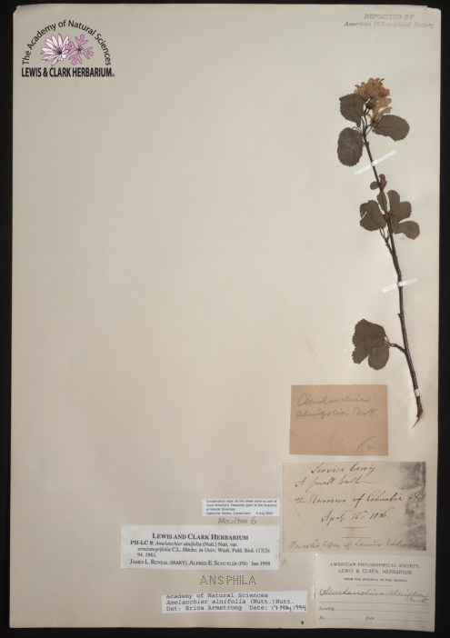 "Serviceberry specimen collected in ""the Narrows of Columbia River"" in 1806 by Lewis and Clark during their expedition across the North American Continent."