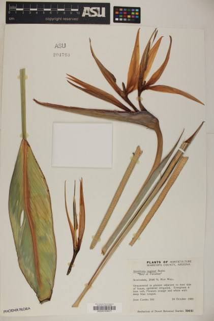 Bird of Paradise (Strelitzia reginae) collected from an ornamental planter in Scottsdale, AZ, in 1985.