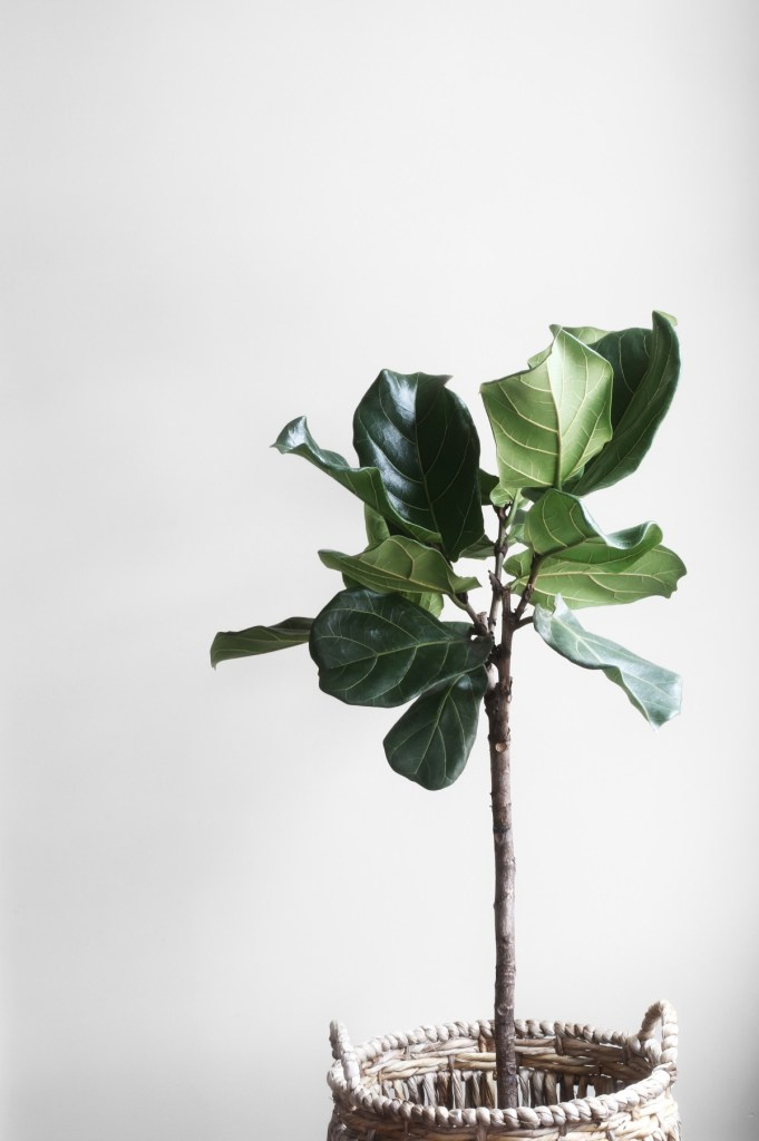 Picture of a Fiddle leaf fig houseplant