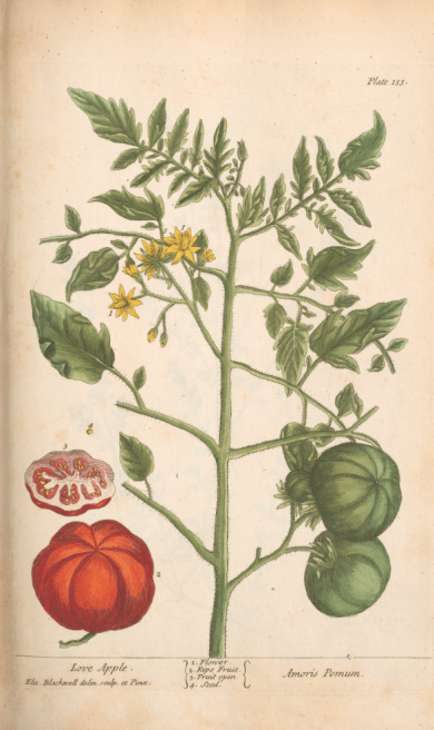 Image of tomato illustration from Blackwell's A Curious Herbal.