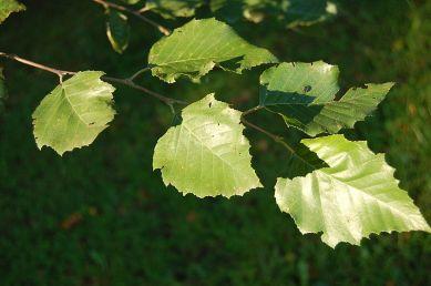 betula_nigra_leaves_3008px