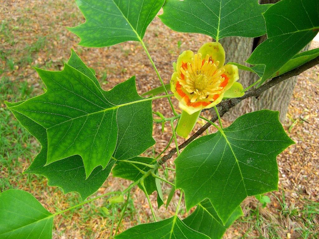 liriodendron_tulipifera