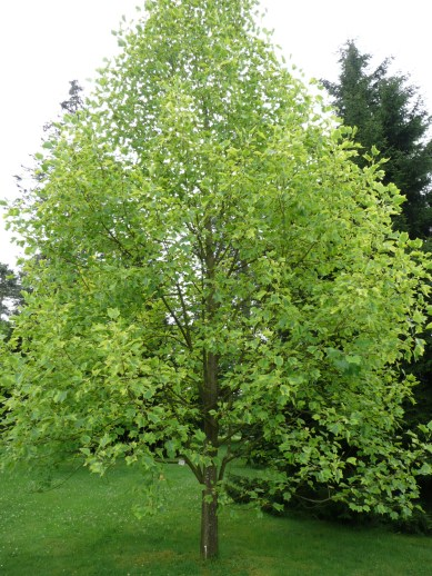 liriodendron_tulipifera_aureomarginatum_01_by_line1