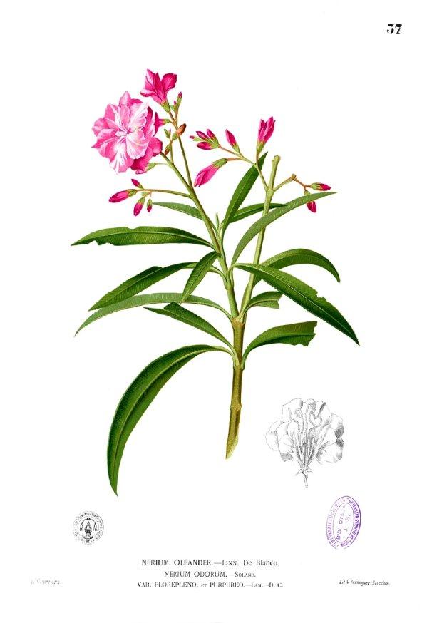 nerium_oleander_blanco1-37