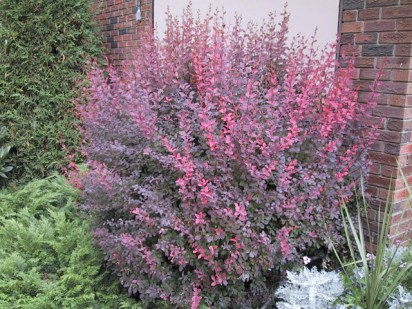 rose-glow-barberry-2