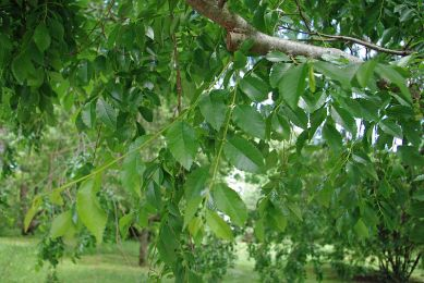 ulmus_parvifolia_kings_choice_foliage