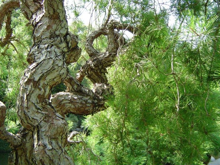 aleppo_pine_in_huntington