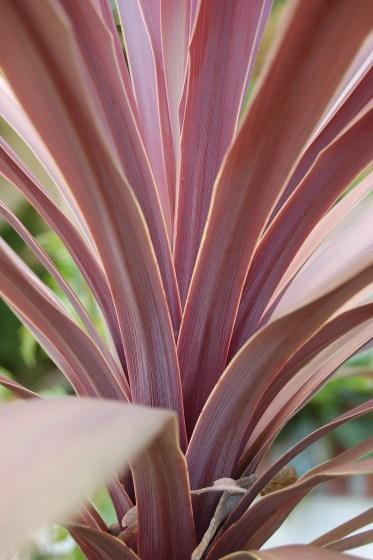 cordyline_australis_red_sensation_closeup_2000px
