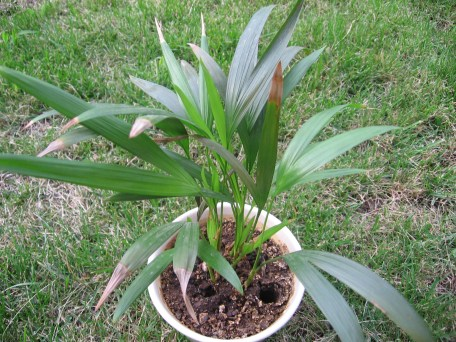 dypsis_lutescens1
