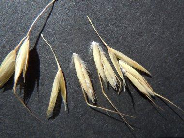 The lemma callus is distinctly long-hairy.