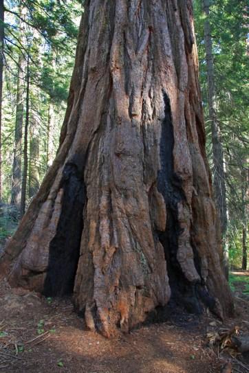 sequoia_trunk