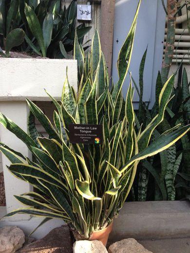 snake-plant3