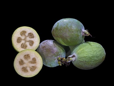 Acca sellowiana Fruit MHNT Fronton