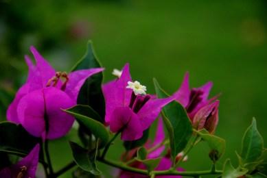 Bougainvillea_Flower
