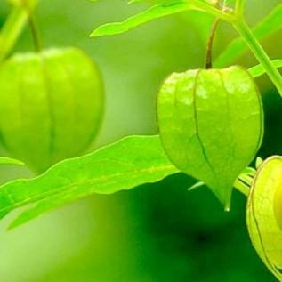 manfaat buah ciplukan - herbatani