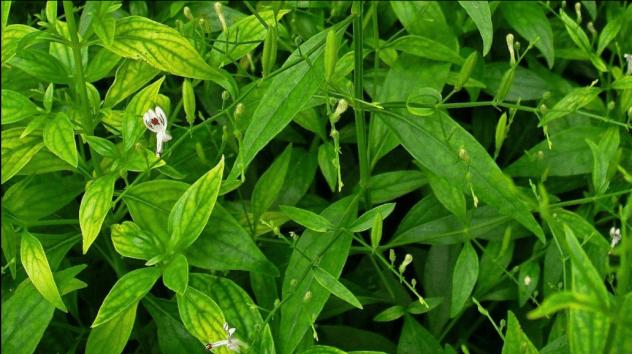sambiloto - jenis jamu tradisional - herbatani.com