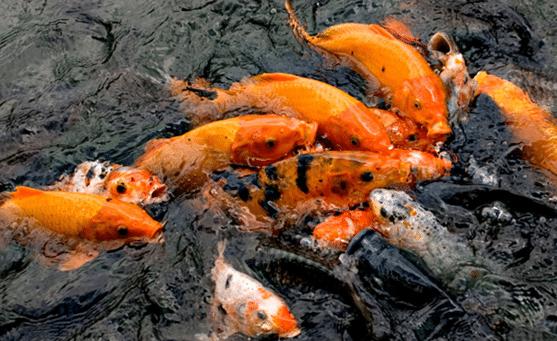 Ingin Untung? Berikut 6 Cara Budidaya Ikan Nila di Kolam Terpal yang Menguntungkan