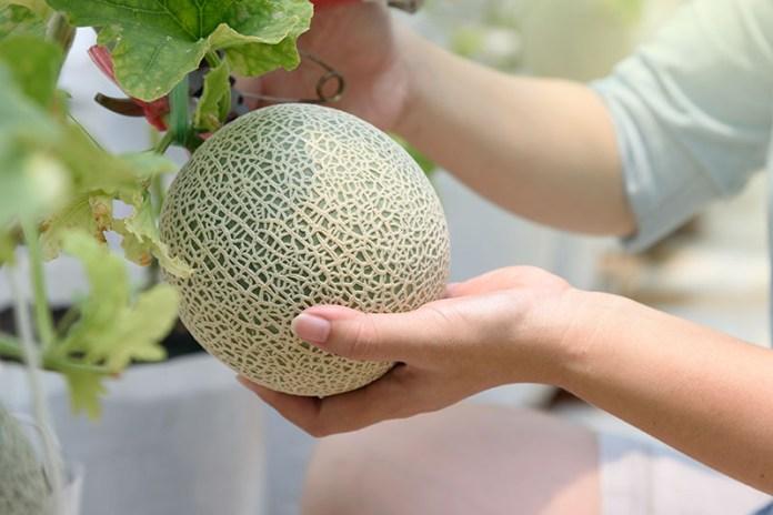 Cara Menanam Tanaman Melon Hidroponik