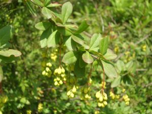 The shrub known as Indian berberry or Tree Turmeric