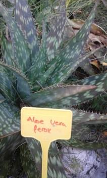 Aloe vera fenoe