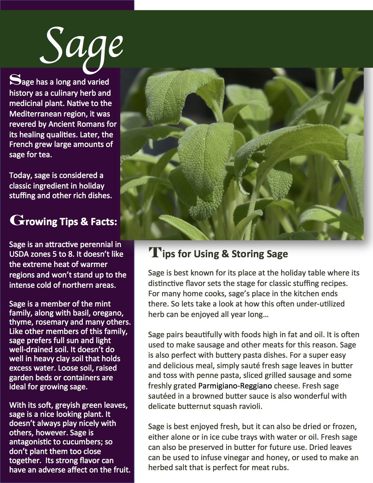 Herb Gardening 101: Growing Sage