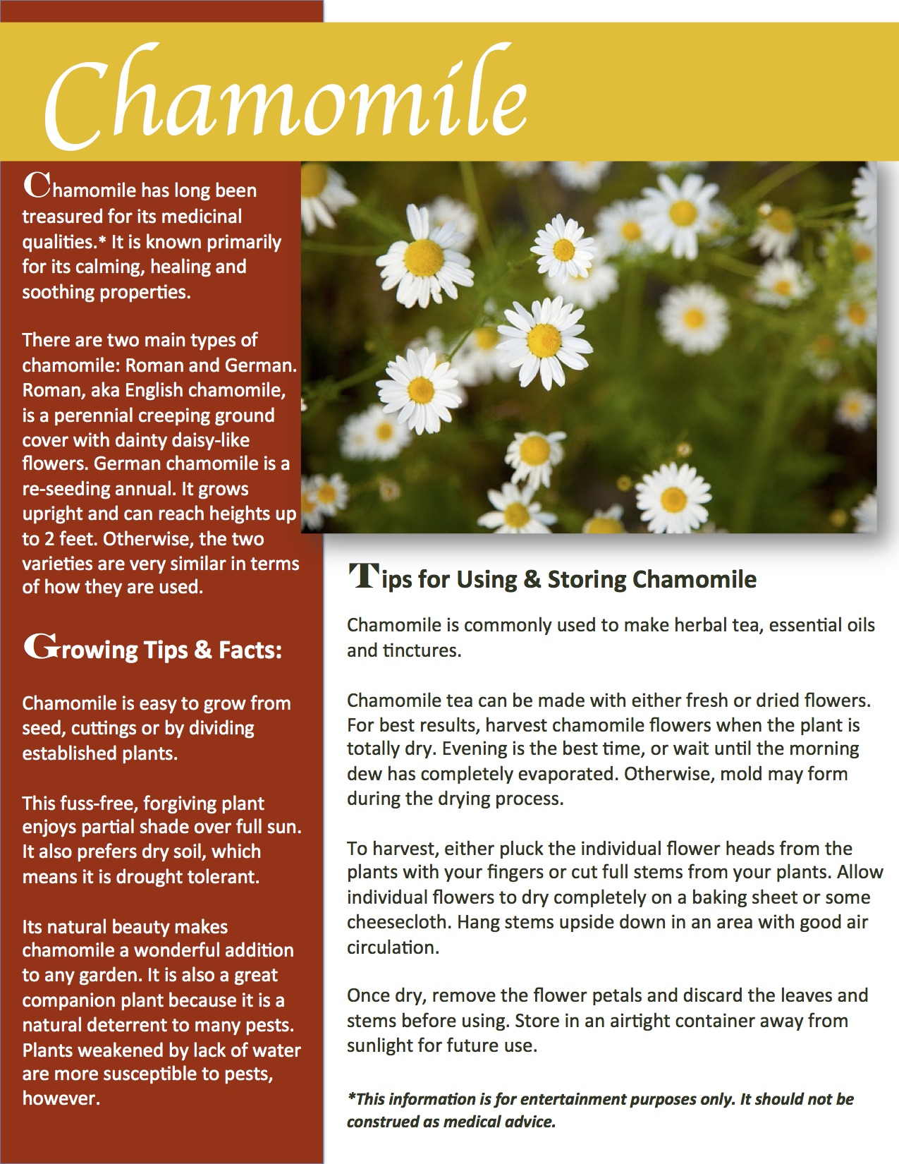 Herb Gardening 101: Growing Chamomile