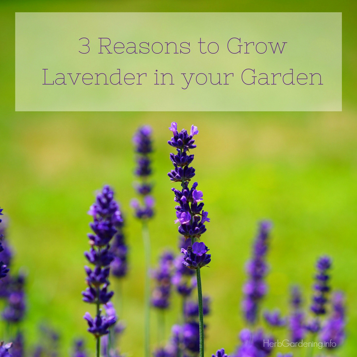 3 Reasons to Grow Lavender in Your Garden