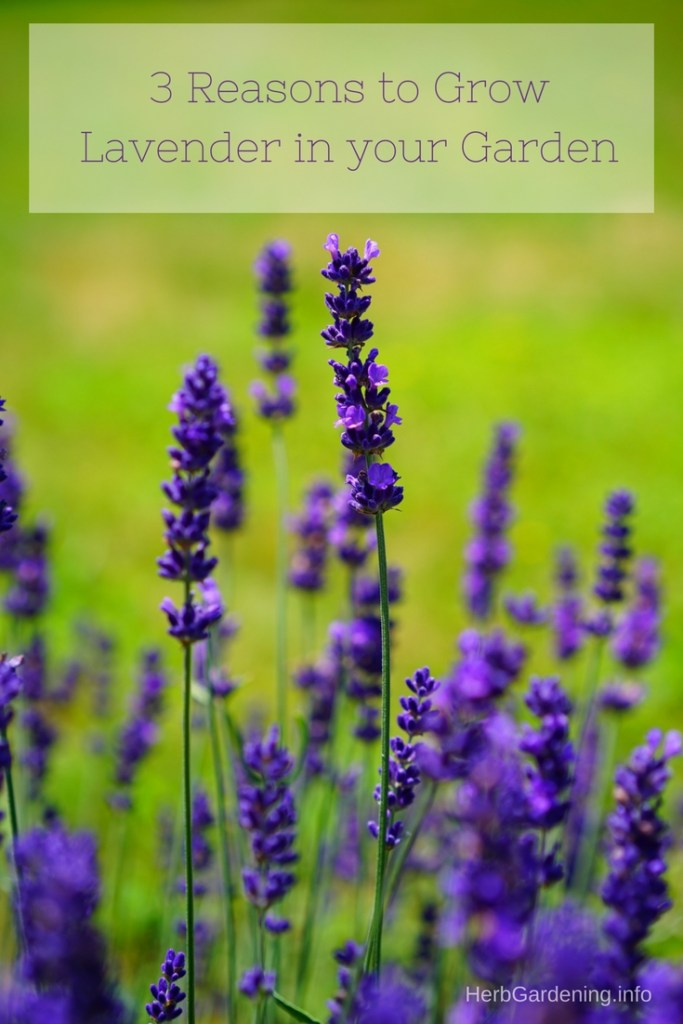 3 reasons to grow lavender in your garden | HerbGardening.info