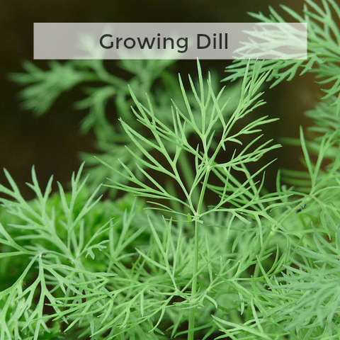 Herb Gardening 101: Growing Dill