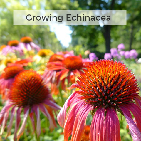 Herb Gardening 101 - Tips for Growing Echinacea
