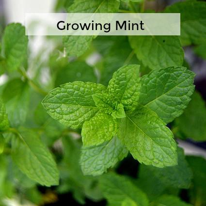 Herb Gardening 101: Growing Mint