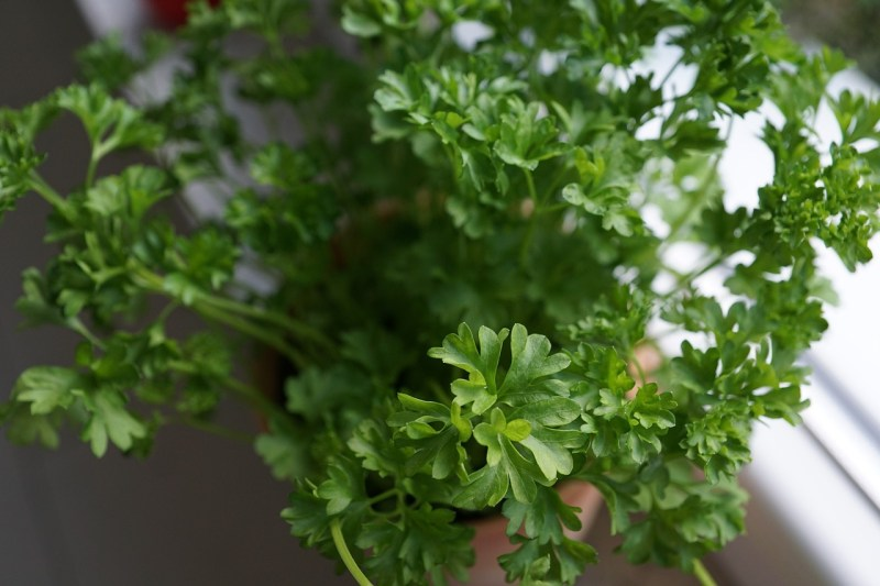 Top 3 herbs to grow indoors. - Parsley
