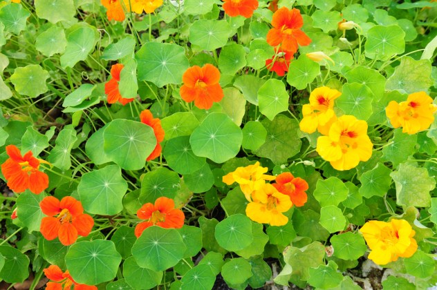 Plant decoy plants like nasturtiums to attract aphids and keep them away from other plants in your garden.