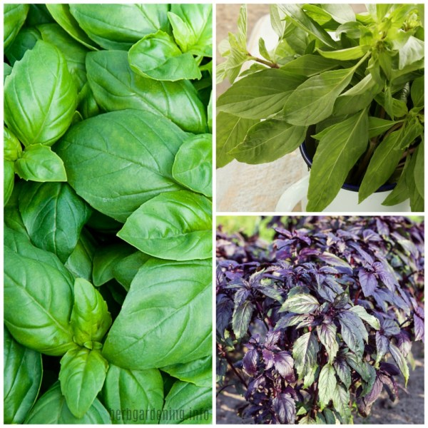 15 types of basil to grow in your garden. #herbs #basil #herbgarden