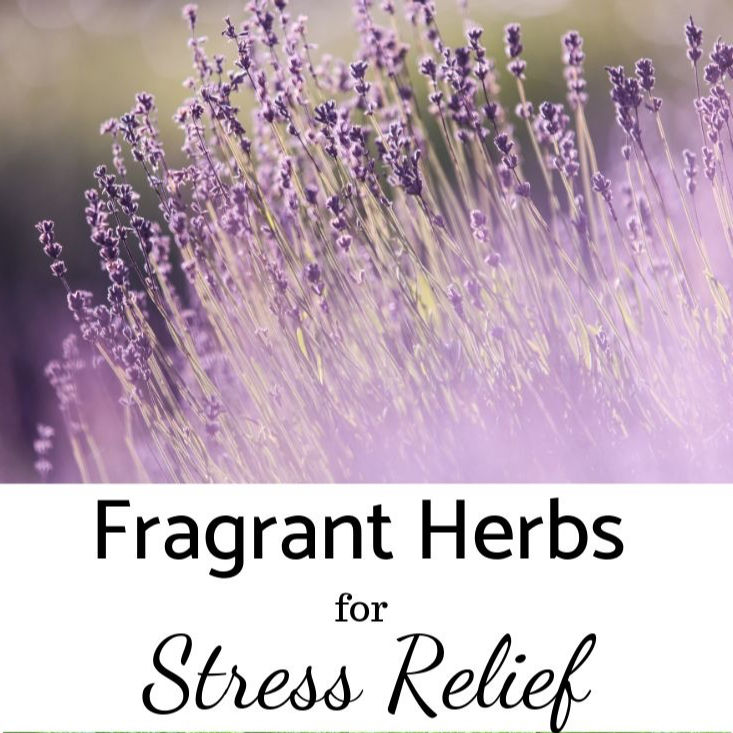 Fragrant Herbs for Your Garden to Relieve Stress