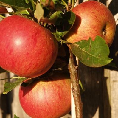 Apples_Fiesta