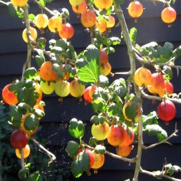 Gooseberries2