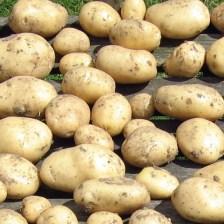 White_Potatoes