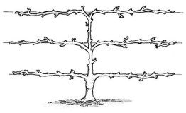 Three tier espalier trained fruit tree diagram