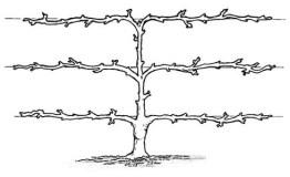 Three tier espalier trained fruit tree diagram