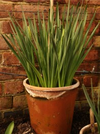 Greenhouse_spring_bulbs_narcissus_big_pot