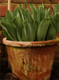 Greenhouse_spring_bulbs_tulips