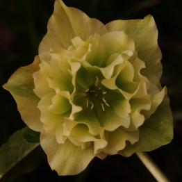 Lenten_Rose_1