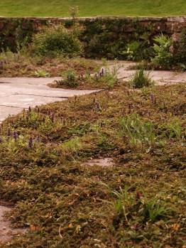 Alpines grow in paving cracks form naturalistic mats